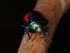 IMG_6480 (Roving_photographer) Tags: jewel bug choerocoris paganus lanecove nationalpark sydney nsw australia ground shield scutelleridae