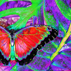 Tropical Beauty (Lemon~art) Tags: butterfly red tropical colour leaf manipulation insect insectart nature wildlife