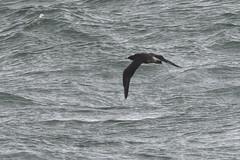 Pomarine Skua. (stonefaction) Tags: pomarine skua birds nature wildlife scotland crail ness fife