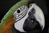 Hybrid Macaw (Ara Chloroptera X Ara Ararauna) (Alzheimer1) Tags: test