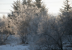 _TRW7465 Frosted Trees (terrificphotos) Tags: juneauaalaska twinlakes dogs frost trees raven evergreen icecrystals hockey