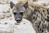 Spotted Hyena (Maarten Elings) Tags: 2016 etosha namibië nationalpark okaukuejo oshanaregion na spotted hyena fleckenhyäne gevlekte animal outdoor animals crocuta
