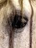 Queque (michaelab311) Tags: queque lusitano lusitanohengst hengst stallion schimmel equiartreitkunstgmbh michaelab311 cadrenoir auge eye horse pferd cheval lehrpferd