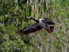 Magpie Geese (Anseranas semipalmata) (Arturo Nahum) Tags: australia aves animal arturonahum ave birdwatcher bird birds wildlife wild nature outdoor magpiegeese anseranassemipalmata