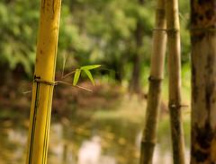Bamboo (Tim Ravenscroft) Tags: bamboo garden morikami delray florida usa