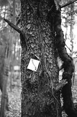(jbrighamphotography) Tags: nikonf photomic nikon nikkor kodak tmax filmphotography naturephotography tree 400tmy