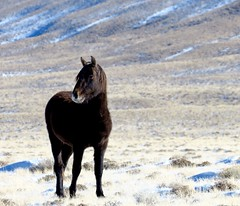 A halcyon day (prairiegirrl) Tags: wyoming winter mustangs wildhorses wildlife greenmountain stewartcreek