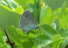 Green-underside Blue ------ Glaucopsyche alexis (creaturesnapper) Tags: butterflies lepidoptera bulgaria greenundersideblue glaucopsychealexis lepidptera