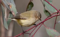 weebill (Smicrornis brevirostris)-2386 (rawshorty) Tags: birds australia canberra act mulligansflat rawshorty