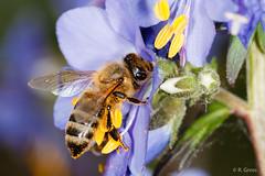 Biene 19 (rgr_944) Tags: macro tiere outdoor natur pflanzen blumen bee abeille insekten bienen bienenhummelnwespen canoneos60dcanoneos70d rgr944