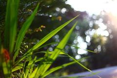 IMG_7167 (BOKEH) (TehOblivious) Tags: life lighting light sunset sky sun macro green nature leaves closeup clouds canon 50mm leaf bokeh testing f18 technicolor jpeg backlighting 2015 nickhall notraw uselesstags bokehporn cinestyle 700d t5i tehoblivious