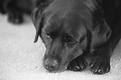 Day 171 of my 365 (Lloyd C Nicholls) Tags: blackandwhite dog pet white black animal pose relax labrador sony relaxing domestic mansbestfriend fullframe alpha dslr relaxed a850