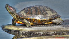 Painted and Posed (Anton Shomali - Thank you for over 3 million views) Tags: wood blue shadow sea usa sun lake chicago color colour tree green nature water yellow reflections gold golden us illinois turtle reptile painted ngc hard shell posed arboretum ribs seaturtle morton reptiles lisle the mortonarboretum paintedturtle hardshell coth testudines goldencolor themortonarboretum cartilaginousshell turtleatthemortonarboretum paintedandposed