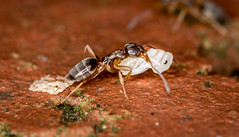 Ant moving house after heavy rain - 2600.jpg (NeilCastle) Tags: garden ant northcarolina