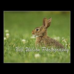 Young Rabbit Clover (wildlifephotonj) Tags: rabbit nature wildlife rabbits naturephotography naturephotos cottontailrabbit wildlifephotography wildlifephotos natureprints wildlifephotographynj naturephotographynj
