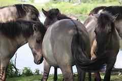 Heerlijk . . . (willem_huwae) Tags: canon gras plas limburg konikpaarden 50d beemden img0156 eysder willemhuwae
