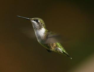 rubythroated-hummingbird112