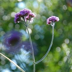 Taking a DeLIGHT in Verbena bonariensis this Summer! (antonychammond) Tags: verbena verbenabonariensis vervain flowers garden bokeh purple saariysqualitypictures flowerarebeautiful mixofflowers macroelsalvador thebestofmimamorsgroups