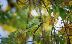 a very shy female parakeet / une perruche femelle timide (Franck Zumella) Tags: bird oiseau perroquet parakeet perruche rose ringed collier green yellow vert jaune tree arbre iso high 12800 shy timid timide