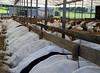 Fenceline feeding (baalands) Tags: north island new zealand dairy goat farm does saanen fenceline feeder feeding barn