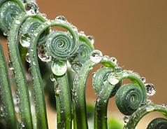 Growth (LSydney) Tags: macro fern unwinding spiral drops droplets waterdrops green