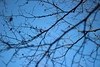 Transitions ( 9 ) : Winter (Snorkle-suz) Tags: branches twigs tree plant nature dof blue sky winter canoneos600d canoneosrebelt3i canoneoskissx5 50mm 500mm silhouette outdoor outside newzealand nz aotearoa steams