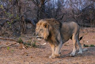 Lion subadult male