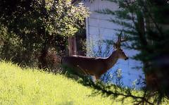 Neighborhood buck (TJ Gehling) Tags: mammal cervidae deer blacktaileddeer odocoileus odocoileushemionus drmp dorothyrosenbergmemorialpark elcerrito