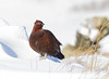 Red Grouse (Gary McHale) Tags: red grouse heather moors south pennines snow