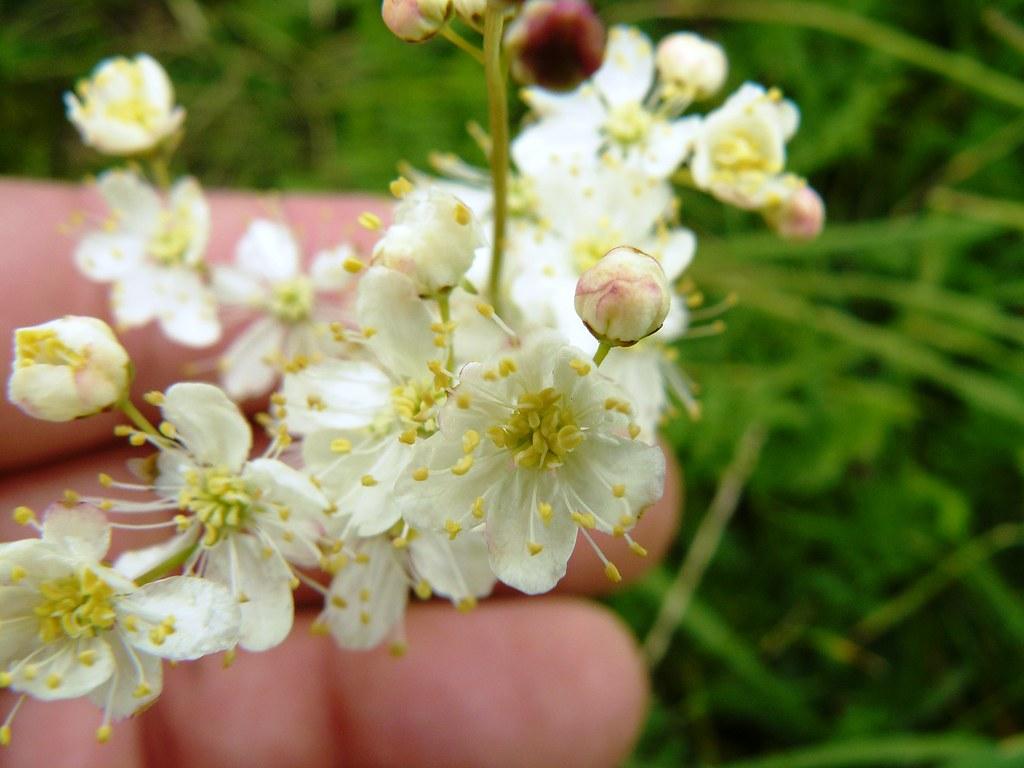 Filipendula vulgaris-1