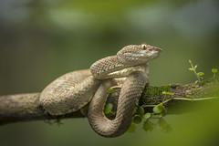 Bothriechis schlegelii (sebastiandido) Tags: tropicalherping snake viper bothriechis schlegelii ecuador nikon flash d7100 choco savethechoco serpiente venom wildlife photography 105mm