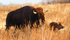 Bison-and-a-Half (Circled Thrice) Tags: bison buffalo baby calf mammal animal grasses meadow rockymountainarsenal nationalwildliferefuge refuge wildlife wild nature natural wildliferefuge aurora commercecity denver colorado co canon eos rebel t3i sigma