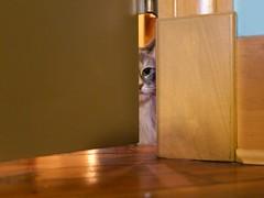 Stevie (Travis Estell) Tags: calico cat damestevie domesticlonghair graycat greycat longhair spycat steviethecat