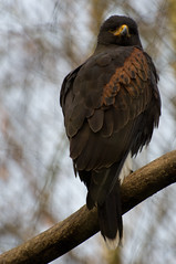 Woestijnbuizerd - Harris's hawk (Den Batter) Tags: nikon d7200 overloon zooparc woestijnbuizerd harrisshawk parabuteo parabuteounicintus