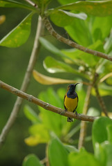 A Male Olive-backed Sunbird (Robert-Ang) Tags: bird sunbird animal olivebackedsunbird nature wildlife jurongecogarden singapore tree leaves