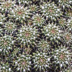 Jardin de Cactus - Lanzarote (Lark Ascending) Tags: cesarmanrique lanzarote canaryislands spain cactus succulent green plant outdoor flora spines pricks prick rosette pattern fibronacci guatiza square