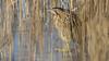 060.3 Roerdomp-20170119-J1701-42485 (dirkvanmourik) Tags: boetjevanonzekees castricum duinreservaat greatbittern roerdomp vogelsvannederland bird botaurusstellaris