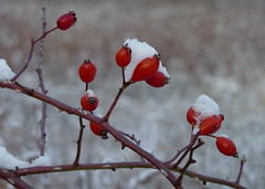 Snow-covered rose hips (Dendroica cerulea) Tags: dogrose rosacanina rosa rosoideae rosaceae rosales plant flower rose shrub rosehips snow meadow winter ayresbeach redsmarina highlandpark middlesexcounty nj newjersey