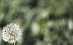 (C-47) Tags: nature flowers flickr bokeh green plant plants dof art artistic artistique beautiful blanc dandelion