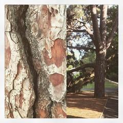 pine tree Sydney Botanical Gardens (markfchristopher) Tags: sydneybotanicalgardens pine tree