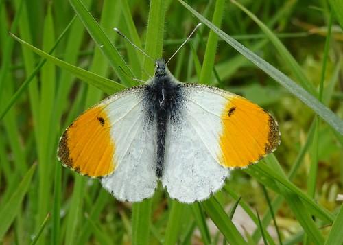 Orange-tip (Anthocharis cardamines)