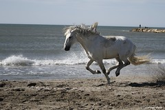 Cheval / chevaux (Passion Animaux & Photos) Tags: cheval horse camargue france