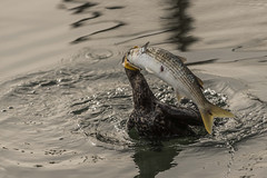 Cormorant and Lunch (shottwokill) Tags: cormorant fish bird nikon d800 200500 marsh wildlife nature wetlands bolsachicaecologyreserve yellowtail nikkor lunch cycleoflife overcast cloudy