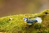 Blåmeis - Blue tit.jpg (Robert Fredagsvik - Norway) Tags: norway estenstadmarka trondheim blåmeis bluetit fugler birds