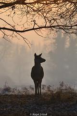 Dawn Sentinel (Ralph J Clark) Tags: reddeer hind winter dawn bushypark nikon200500mmf56 silhouette