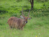 IMGP8621b (Micano2008) Tags: pentax kenia africa nakuru lagonakuru parquenacional mamifero antilopeacuatico kobusellisiprymnus macho