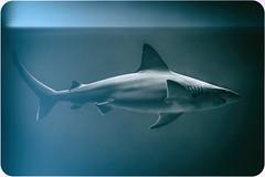 Fly-by (Bobby Palosaari) Tags: carcharhinusplumbeus dorsal fin fish pectoral predator requiem sandbarshark shark sleek smooth underwater