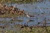 Yellow Legs (Jitney58) Tags: wildhorses cranes birds sandhillcranes