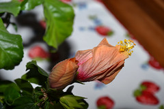 Farbenpracht der Natur...... (Oldtimer -2016) Tags: natur farbenpracht farbe color blüten blüte blume pflanze flora all hibiskus