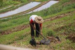 IMG_4382 (FelipeDiazCelery) Tags: indonesia bali asia arroz rice ricefields composdearroz agricultura griculture wrok worker trabajdor granjero granja farm farmer